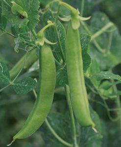 豆の形がしっかりしていて、程よい甘さ のあるスナップエンドウ。