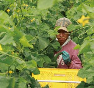 きゅうり畑での収穫作業