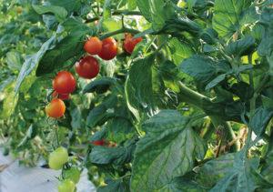 今が最盛期のミニトマト。今年はより一 層気合が入ってます。