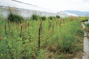 自然界の営みを利用した草生栽培。後ろのススキ もお月見の頃には欠かせない商品。