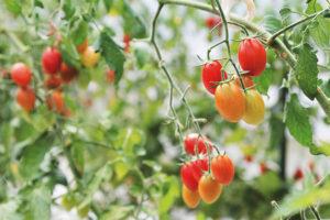 長いハウスが何棟も並ぶ農園のハウスの中は、エネルギーあふれるトマトの香りが満ちている。