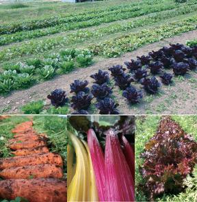 畑で栽培された野菜たち。大自然の中でのびのびと、時に厳しい環境の中で育った野菜たちはどれも凛とした姿である。
