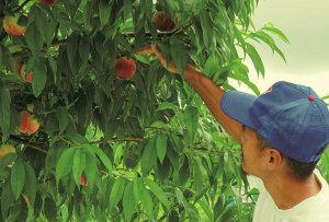 桃の色づきを確認しているところ