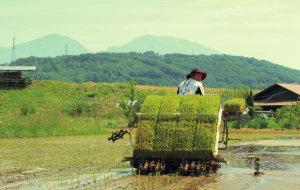 田んぼの地形を意識しながら、慎重かつスピーディーに田植えを行う。
