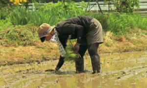 少しでも苗を無駄にしないように、機械の植え残しを手で植えていく。