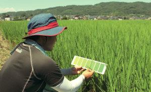 苗の成長具合をカラーシートで確認 。データ収集を積み重ねていく。