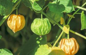 実の外側についているガクが緑からオレンジに変わってくれば採りごろ。