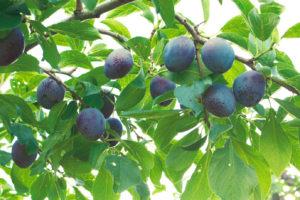 収穫前のサマーキュート 8月から10 月はプルーンの季節 旬の美味しさをぜひ生で味わってほしい