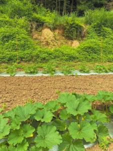 2復興した畑