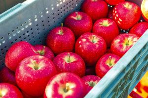 濃い赤になり、りんごの表面に天然のワックスが出るとすごくおいしくなる「シナノドルチェ」9 月下旬収穫
